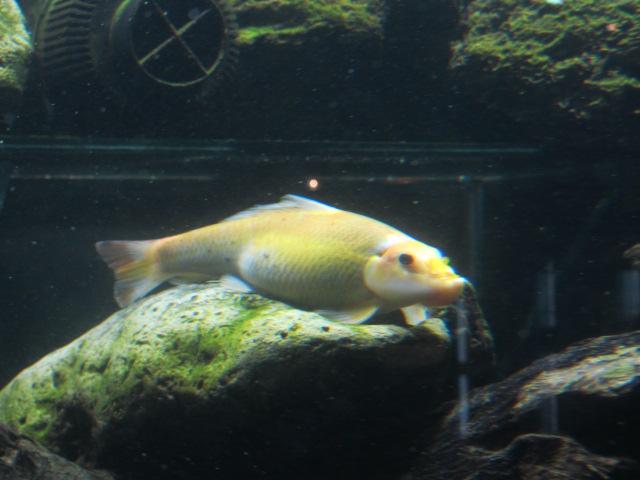 Беременная золотая рыбка как выглядит 38
