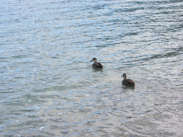A picture of two ducks frolicking in Lake Wakatipu, Queenstown, New Zealand.