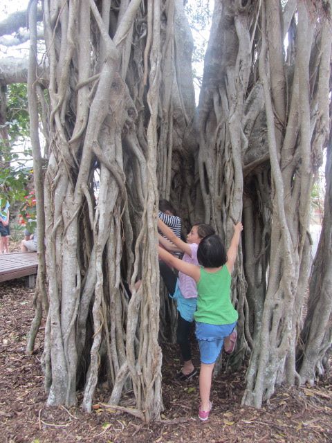 A picture of the kids climbing an old banyan tree at the Urangan Pier in Hervey Bay, Queensland