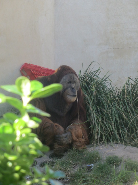 A  picture of a grumpy orang utan at the Perth Zoo.