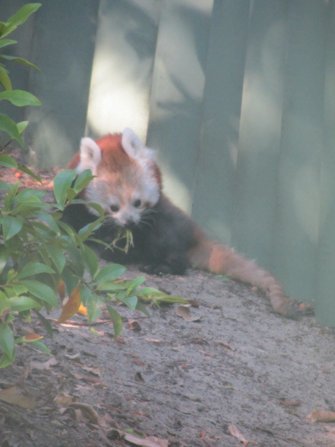 Another critically endangered animal.  A picture of HRH's beloved Red Panda at Perth's Zoo. We spent 20 minutes at its enclosure just to snap this photo since the thing wouldn't sit still.