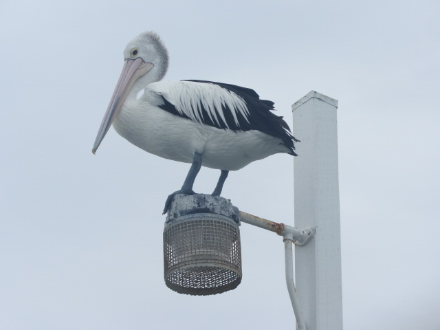 A picture of an ibis standing atop a lamp post on the Urangan Pier in Hervey Bay.