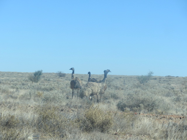 Emus outside of Broken Hill in New South Wales.